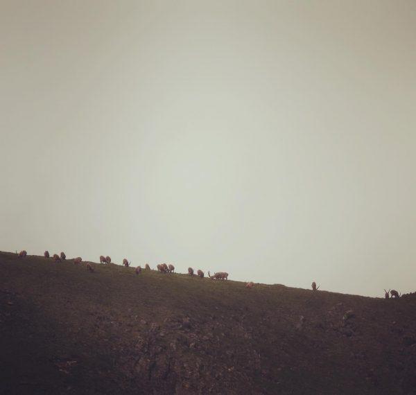 Steinböcke am Abend ☺️ #wildlifephotography #wildlife #auroralech #nature #naturephotography #lechzürs #lechzuers #vorarlbergtourismus #jagdistleidenschaft