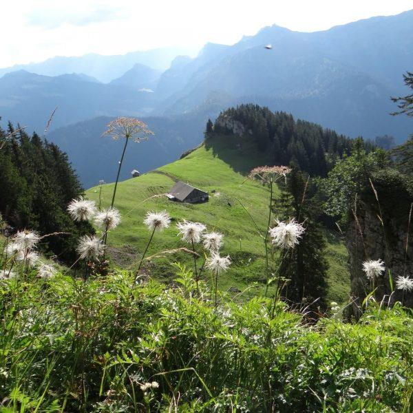"""#19 Sennalpe der KäseStrasse Bregenzerwald """"Alpe Ostergunten/Egg"""". Um die Kühe mit frischem Gras ..."""