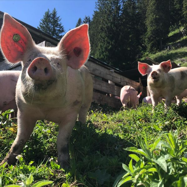 Schweine im Glück! 🍃 . . #auslauf #tierwohl #glücklich #esistnochgrün #alpschweine #alpestongen #visitvorarlberg ...