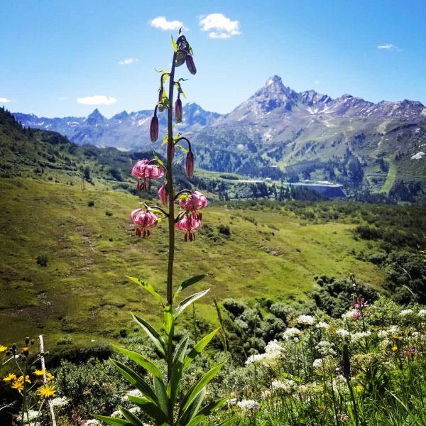 Lilium martagon ist eine Wildlilie, hierzulande wird sie Türkenbundlilie oder oft auch schlicht ...
