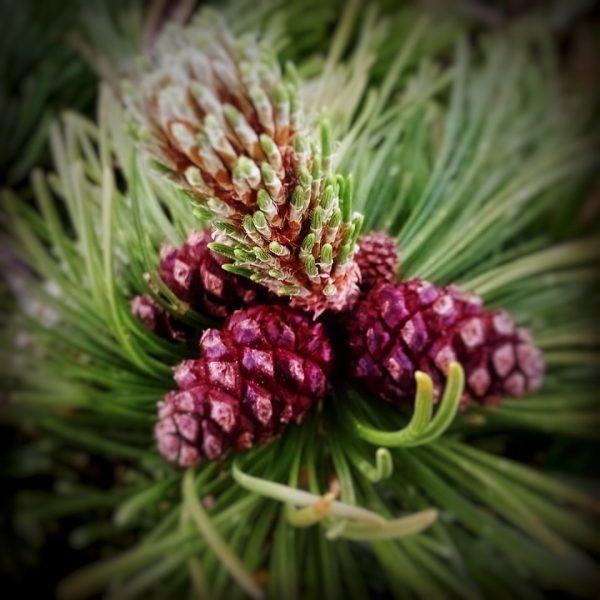 Latschenkiefer (Pinus mugo) oder Bergkiefer Haben draus Latschenkiefer - Salz , -Likör -Öl und -Essenz hergestellt !...