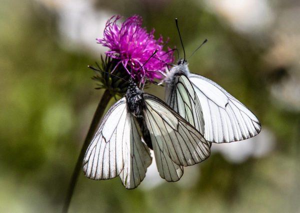 Schmetterlinge am Freschen#berge#schmetterling#butterfly #nature#hiking#beautifulnature #freschenhaus #vorarlbergtourismus #vorarlbergwandern#freude