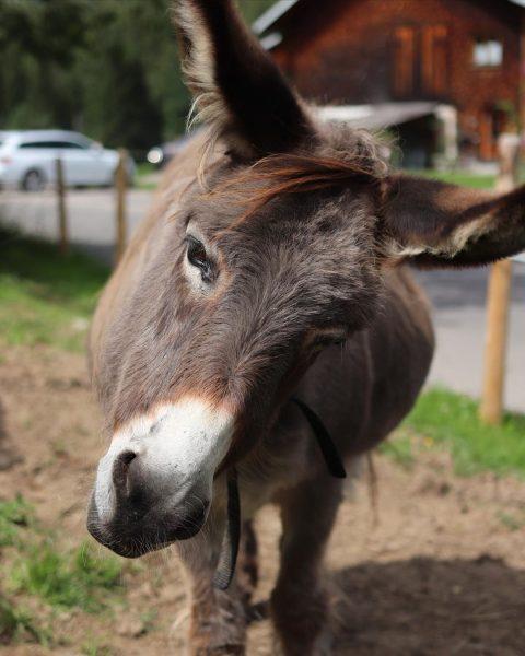 #eselliebe ❤️ . . . #kleinwalsertal @kleinwalsertal #donkey #esel #riezlern 📷: @aileen.bibo Genuss- ...