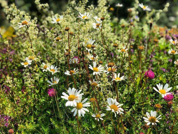 Bergflora am Hirschberg #hiking #bergblumen #visitbregenzerwald #hirschberg #langenbeibregenz #hiking #freude #beautifulnature