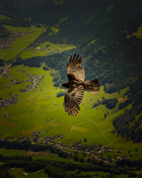 A big bird seen from the mountain Kanisfluh in the Bregenzerwald in Vorarlberg-Austria. ...
