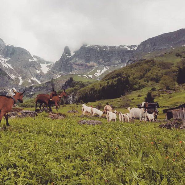 Auch die Ziegen genießen ihre Alpzeit 😊 #schedlerhofbewohner #z'alp #schattenlagant #brandnertal #gemsfärbigegebirgsziege #burenziege
