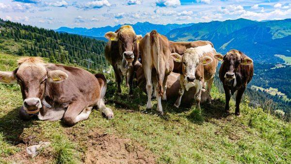 #wandern #kleinwalsertal #bergsommer #berge #erholung #urlaub #nature #kühe Hoher Ifen
