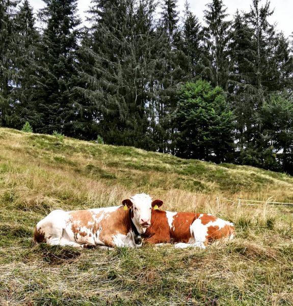 #egg #kaltenbrunnen #bregenzerwald #vorarlberg #austria #nature #landscspe #naturelover #animals #cows #twins #siamesetwins #interestinganimal ...