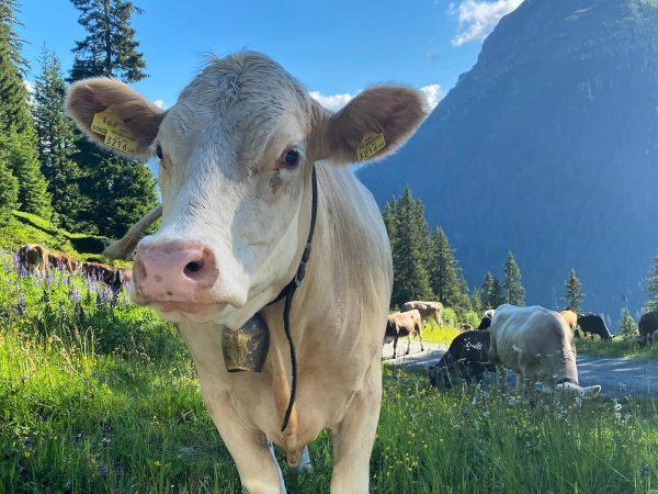 Guten Muhorgen🐮 #gargellen #obwaldhütte #mountains #austria #enjoyaustria #vorarlberg #montafon #naturelovers #hüttenzsuber #heimatliebe Gargellen, ...