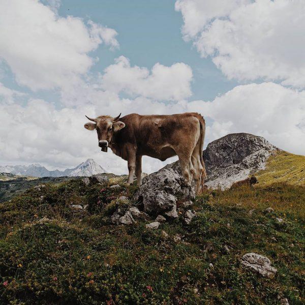 GRIASS DI 🐮🙋🏼♂️⛰️ #kleinwalsertal #vorarlberg #austria #allgäu #alpen #mountains #widderstein #gemsteltal #hiking #cowwithaview ...