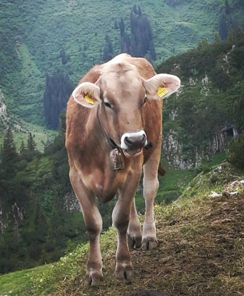 Touristenkuh 😂 . . . . #kühe #braunvieh #allgäu #allgäueralpen #hoherifen #kleinwalsertal #wäldele ...