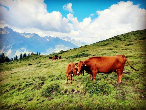 Moin ♡ Stetige sanfte Begleiter während meiner Wanderungen: Kühe. Ihr Glockenläuten begleitete mich ...