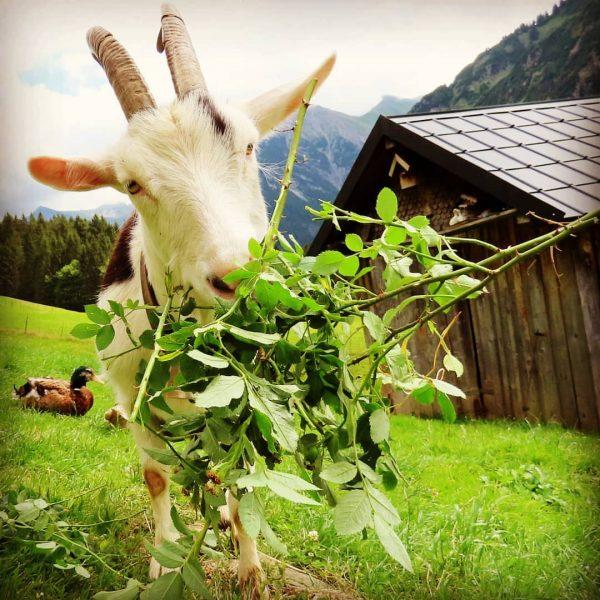 Eet smakelijk ;-) #Geit #Mittelberg #Baad #Kleinwalsertal #alpen #Ziege
