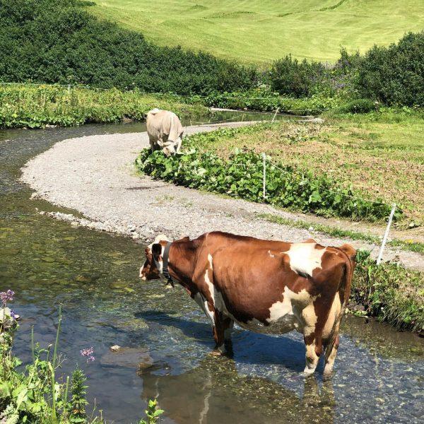 Auch Kühe lieben eine kleine Abkühlung an heißen Tagen☀️💧💦 #sommer #alm #vorarlberg #bregenzerwald ...