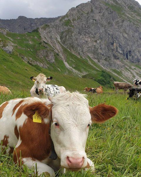 Ich vermisse sie jetzt schon.... die Berge & die Kühe❕❕🌿🐮 #allgäu #allgäuliebe #oberallgäu ...
