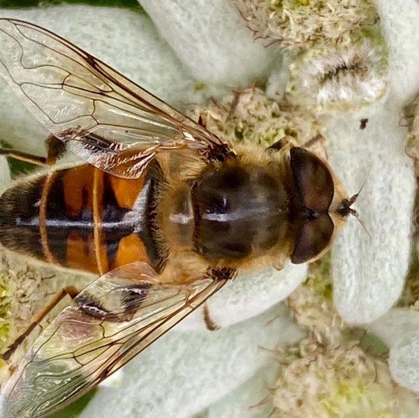 Biene auf Edelweiß #edelweiss #biene #bee #kleinwalsertal