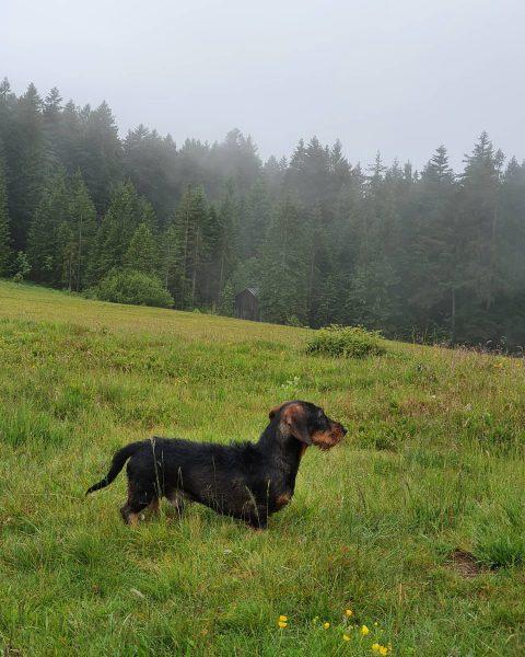 Heute auf Entdeckungsreise im Fohramoos am Bödele. 🖤 #emilsabenteuer #dackel #dachshund #dachshundlove #dachshundoftheday ...