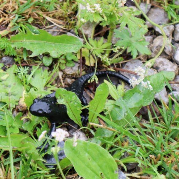 Barguntal De Alpen salamander! #kleinwalsertal #baad #bärgunttal #alpensalamander #voralberg #allgäu Baad (Kleiwaslsertal)