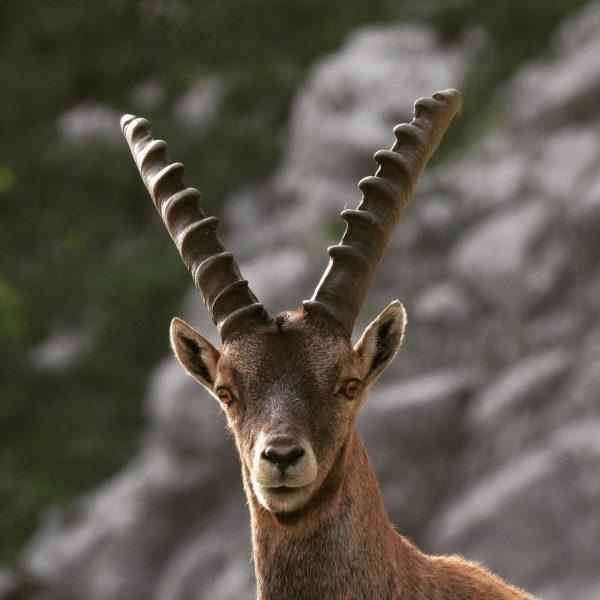 Junger Steinbock 🐐 #wildlifephotography #wildlife #auroralech #nature #naturephotography #lechzürs #lechzuers #vorarlbergtourismus #jagdistleidenschaft