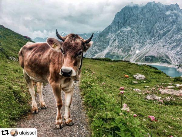 #REPOST @ulaissel // Auch die Kühe genießen ihren Bergsommer am Lünersee. ☀🐮⠀⠀⠀⠀⠀⠀⠀⠀⠀ ⠀⠀⠀⠀⠀⠀⠀⠀⠀ Wir finden: ein wirklich...