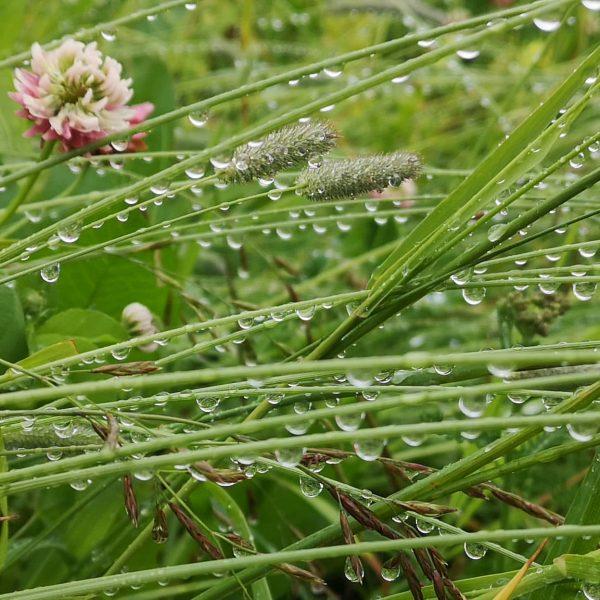 #regen #regentropfen #gräser Oberlech, Vorarlberg, Austria