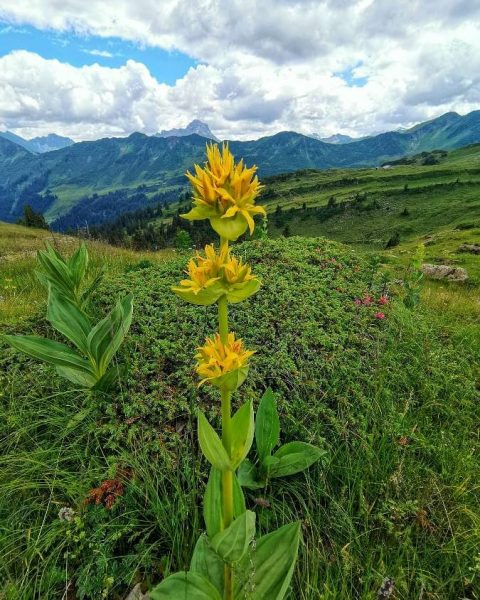 Alps Flower Week The flower in the photo is called Gentiana lutea or ...