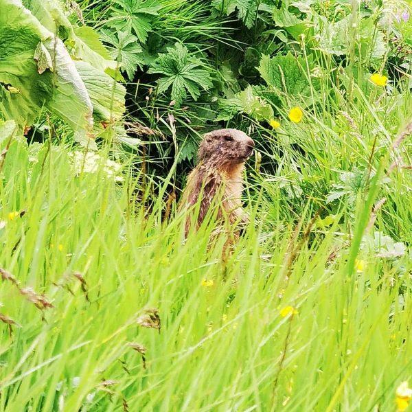 Weggefährten bei unseren Wanderungen #edelweiss-lech #venividivorarlberg #bürstegg #wanderurlaub #sommerindenbergen #lechamarlberg Lech, Vorarlberg, Austria