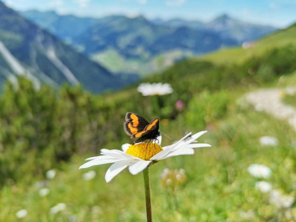 Alps Flower Week: Frühe Margerite . #main_vision #photography #color_of_day #ig_shotz #ig_world_photo #ig_great_pics #ig_fotografdiyari #ig_myshot #shotwithlove #justgoshoot #instaphoto...