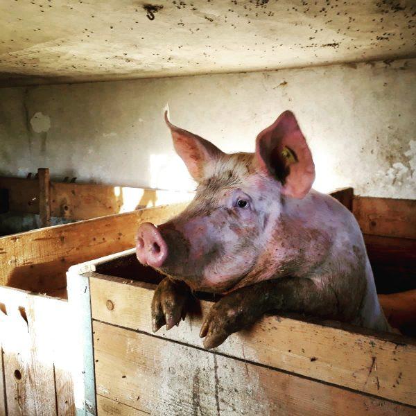 """""""Von den Höfen ⛰ unserer Heumilchbauern"""" . Auf einigen Höfen unserer Heumilchbauern gibt's auch noch Schweine 🐖..."""