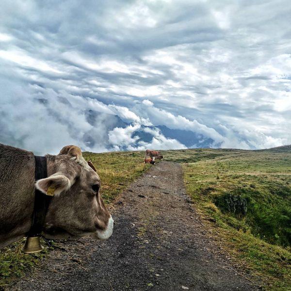 Die Tage in den Alpen sind gezählt und bald geht's wieder ab ins Tal, die Kühe unserer...