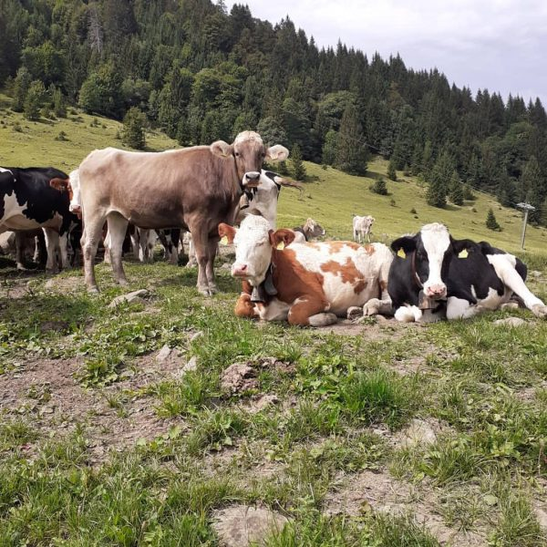 the beauties of the alps #bregenzerwald #cows #mountainlove