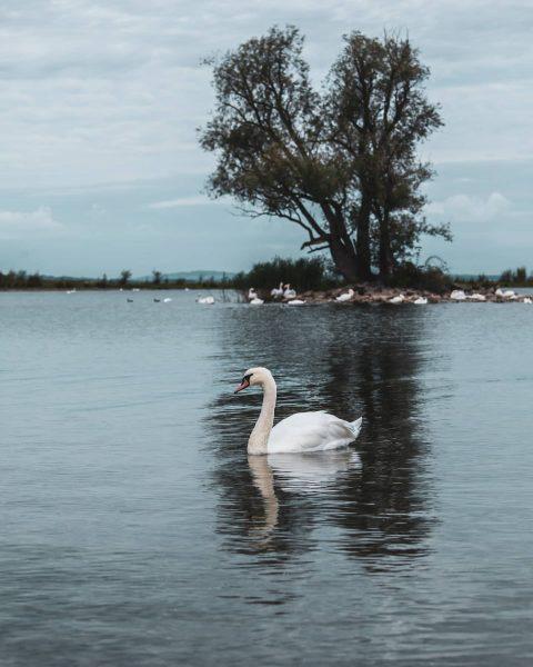 #last #week #sunday #morning #walk #outside #gooutside #swan #swanheart #schwan #gaißau #vorarlberg #austria ...