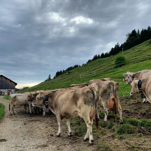 """""""Von den Alpen ⛰ unserer Heumilchbauern"""" . Schon gewusst?! Das aktuell kühlere und zum Teil nasse Wetter..."""