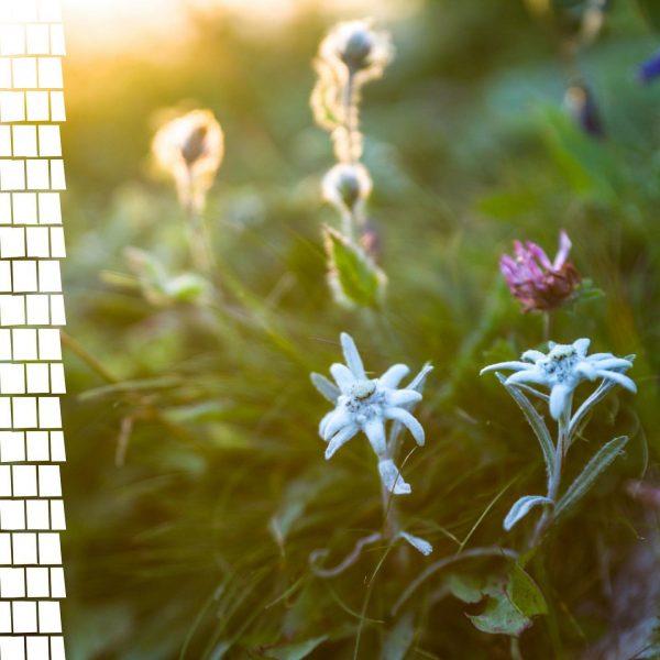 Ein Blick um's Eck zeigt uns eine der wohl kostbarsten Alpenblumen, die es ...
