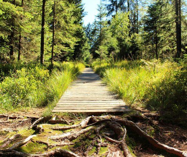 🌳🌲Den Wald durchwandern, den Geruch der Pflanzen🌿 und die Feuchte des Moores wahrnehmen, ...