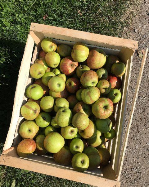 Unbehandelte bzw. ungespritzte Äpfel direkt vom Baum - Sorte Jonagold 🍎🍏🍎 #apfelernte #äpfel ...