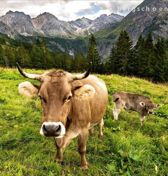 Auf der Alpe Kuhgehren im schönen Kleinwalsertal mit Blick auf den Mindelheimer Klettersteig ...