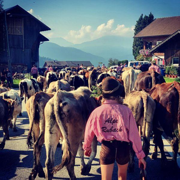 Coming home. #alperubach #kühe #jerseyrind #selma #bregenzerwald #huntingismypassion Sibratsgfäll, Vorarlberg, Austria