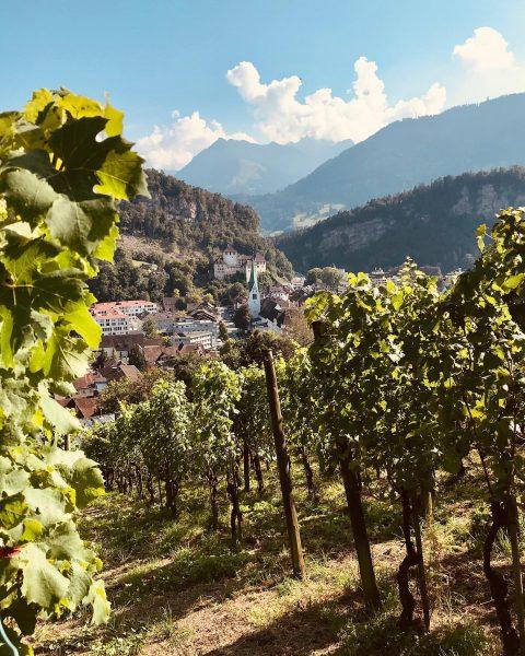 """Goldgelb und Tiefblau – so sehen die reifen Weintrauben an den Reben im Weingarten """"Am Bock"""" am..."""