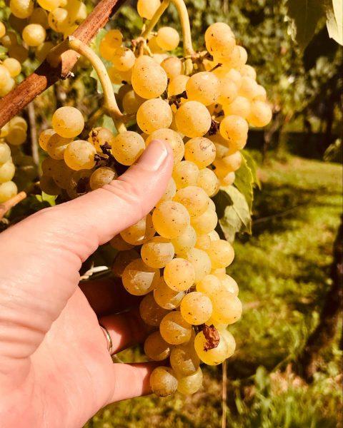 Sommertage im Weingarten... Der Spätsommer ist die wahrscheinlich schönste Zeit im Weingarten am ...