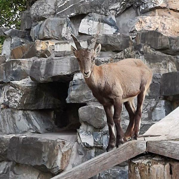 Unser Jungbock #wildparkfeldkirch #wildpark #wildtiere #tiere #natur #nature #wald #feldkirch #verein #vorarlberg #ländle #meinländle #meinvorarlberg #visitvorarlberg #österreich...