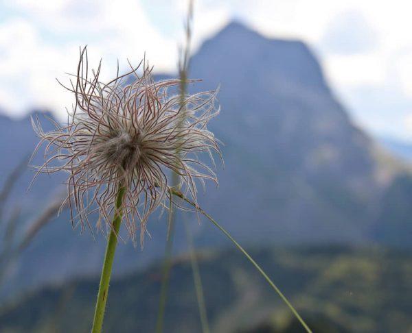 Eine schöne verblühte Alpenanemone genannt auch Wildes Männle mit dem spektakulären Widderstein im Hintergrund!!! #alpen #berge #blumen...