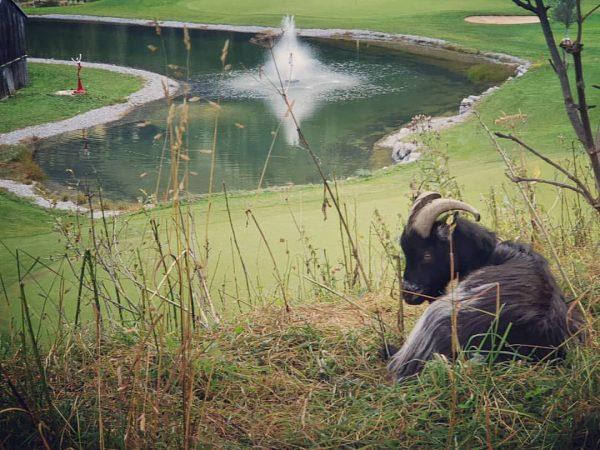 Golfplatz Wächter🐐⛳ #gclech #golfclublech #golfplatzwächter Golf Club Lech