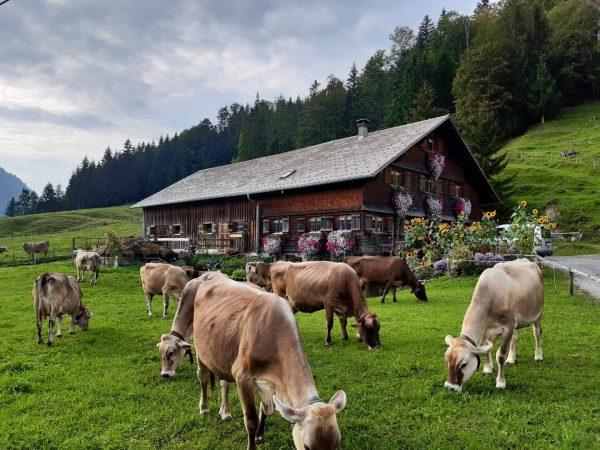 """""""Von den Alpen ⛰ unserer Heumilchbauern"""" Herbst 🍂 ... auch für diese #heumilchkühe 🐄🌾🌤 sind es für..."""