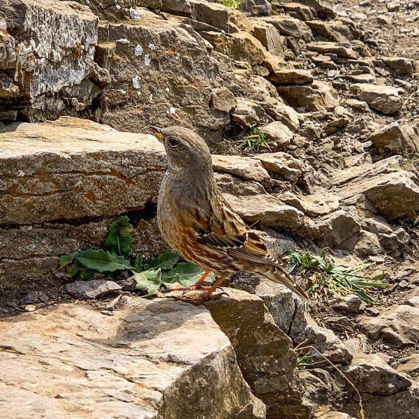 Alpenbraunelle - gut getarnt / Alpine accentor - well camouflaged / Prunella collaris . . . #bird...
