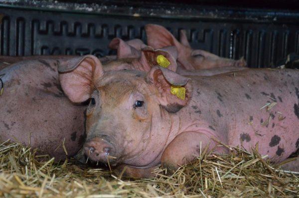 Diese 4 kleinen Ländle-Schweine dürfen heute bei uns am Hof einziehen und sich ...