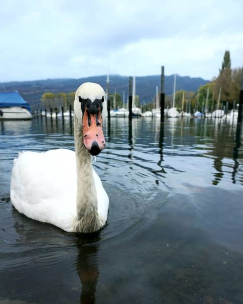 😬 🦢 . #schwan #swan #nature #naturelovers #herbst #autumn #fall #animals #instaanimal #bodensee #lake #lakeofconstance #bregenz #vorarlberg...