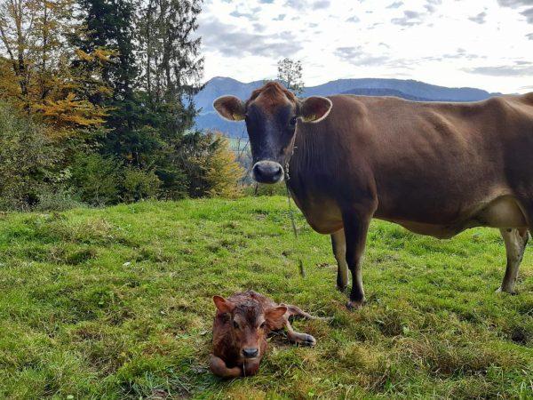 """""""Landwirtschaft in Hittisau"""" Auf der Herbstweide 🌾🍂🌤 das Licht der Welt erblicken. 🐄 Kuh """"Babsi"""" und ihr..."""