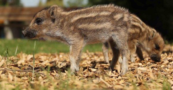 Heute gibt's ein süßes throwback Bild unserer Wildschein Frischlinge. 😍😘 #wildparkallensbach #allensbach #wildpark #freizeitpark #bodensee #konstanz #wildlifephotography...