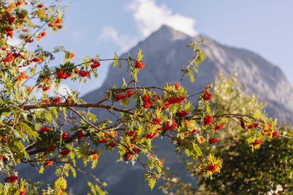 Eine Bauernregel behauptet, dass in Jahren, in denen die Vogelbeere reich fruchtet, ein strenger Winter folgen werde....
